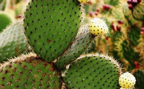 Полезные свойства кактуса и его применение в повседневной жизни