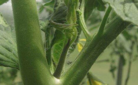 Пасынкование помидор – секреты и советы