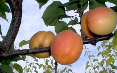 Как вырастить абрикос из косточки на даче самостоятельно