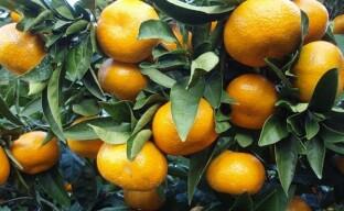 Как увеличить плодоношение мандарина