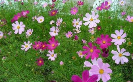 Цветы космея – лучшие растения для начинающего цветовода