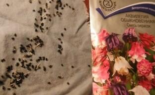 Посев семян аквилегии на рассаду или как получить дружные всходы