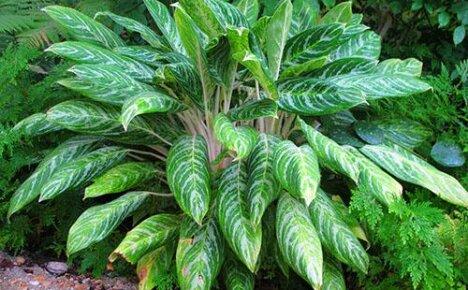 Растение с многоцветной листвой — цветок аглаонема