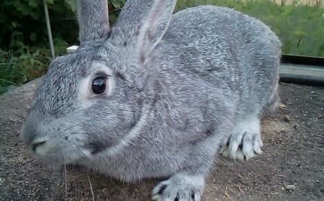Успешное разведение кроликов породы Советская шиншилла