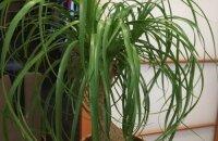 Как размножить нолину или бокарнею: два проверенных способа