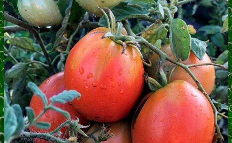 Выращиваем на открытой грядке томат Большая Мамочка