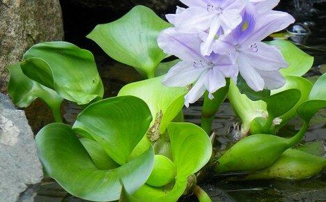 Водный гиацинт эйхорния – роскошное украшение пруда и аквариума