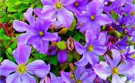 Какие вьющиеся растения выбрать для дачи — рекомендации