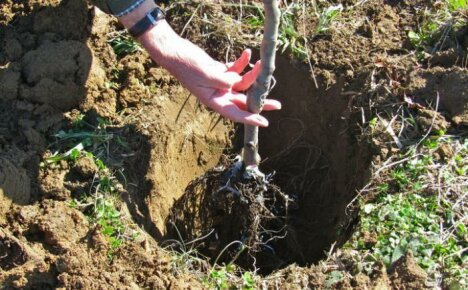 Высаживание саженца груши в открытый грунт
