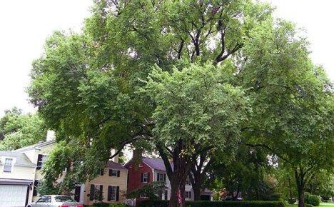 Яркий пример адаптации — дерево вяз
