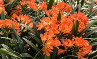 Грамотный уход за кливией — гарант роскошного цветения