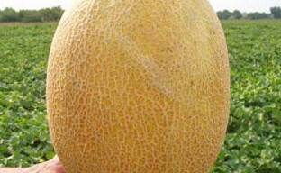Выращивание ультраранней дыни Дакаро