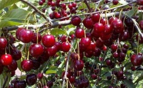Повышаем урожайность вишни