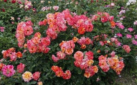 Что такое полиантовые розы?