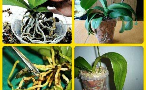 Пересадка орхидеи: как правильно это сделать