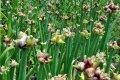Тонкости выращивания необычного многоярусного лука