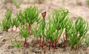 Пихта из семян – секреты и способы выращивания