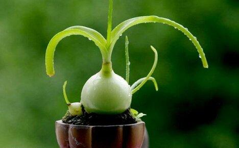 Лечебные свойства индийского лука: применение, противопоказания