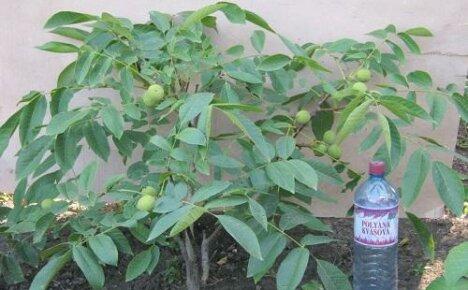 Выращиваем на участке грецкий орех: особенности ухода