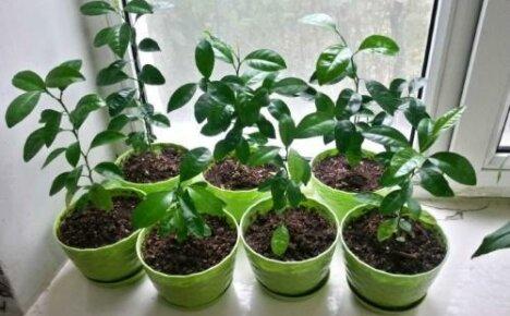 Как посадить мандарин: выбор, подготовка и посев семян