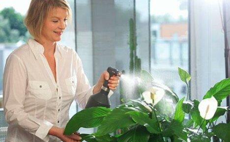 Правильный уход за комнатным растением спатифиллум и возможные затруднения