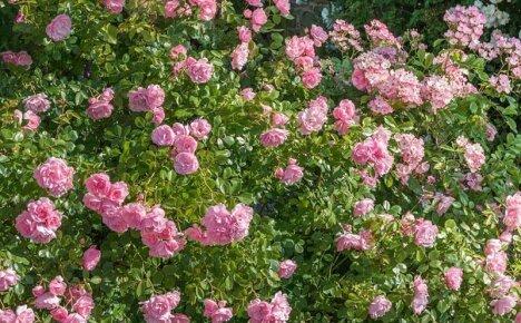 Обратите внимание на почвопокровную розу Боника 82