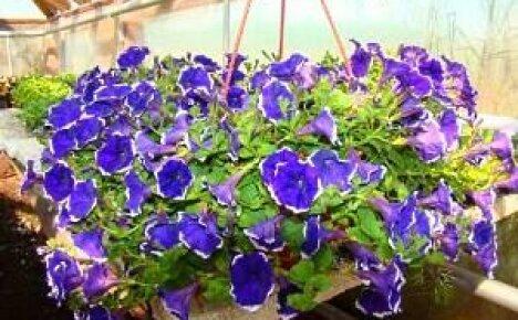 Выращивание петунии Сурфиния: уход и размножение цветка, фото