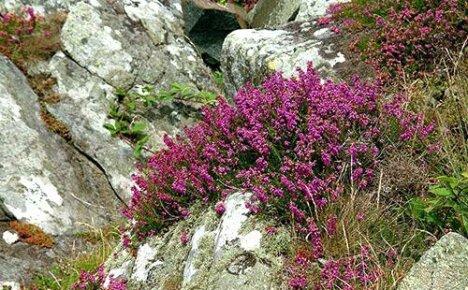 Символ Шотландии вереск — кустарник бессмертия