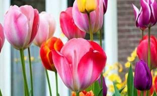 Цветение тюльпанов — даем силу растениям