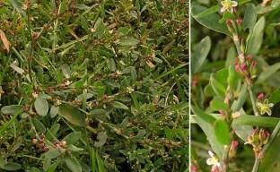 Неприметный и полезный горец птичий относится к лекарственным растениям