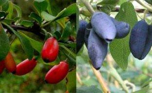 Новые плодовые кустарники для сада