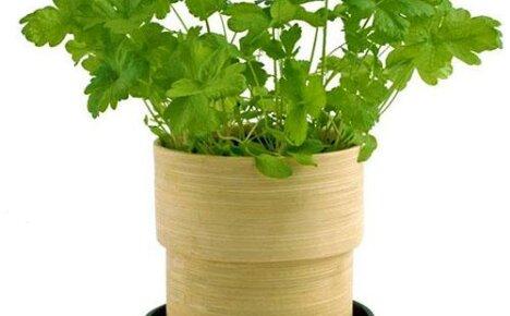 Петрушка на подоконнике: как посадить и вырастить