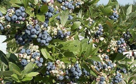 Голубика Патриот — высокоурожайный и морозостойкий сорт