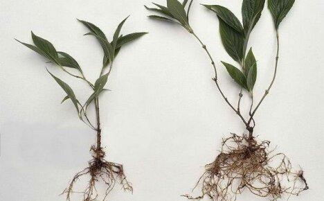 Как размножается вейгела — лучшие способы