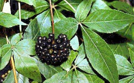 Достоинства и способы выращивания элеутерококка колючего