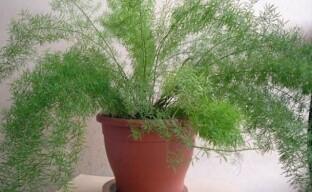 Что любит комнатный аспарагус и как ухаживать за растением