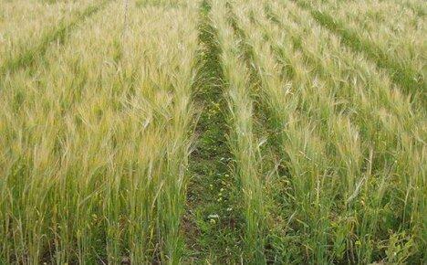 Обработка пшеницы от грибковых и вирусных заболеваний