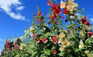 Выращивание мальвы в саду: секреты пышного цветения