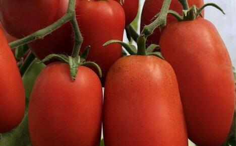 Семена лучших сортов томатов для Сибири для получения щедрого урожая