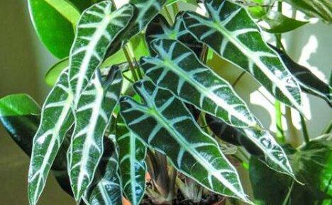 Знакомьтесь алоказия амазонская — самое распространённое домашнее крупнолистовое растение
