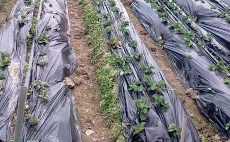 Повышаем урожайность грядок с пленкой для мульчирования из Китая