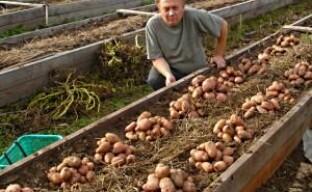 Как собрать мешок картошки с 1м2 площади? (видео)