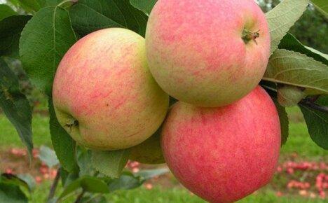 Высокоурожайная яблоня Мечта для вашего сада