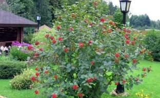 Выращивание калины в саду – что нужно знать о посадке и уходе за растением