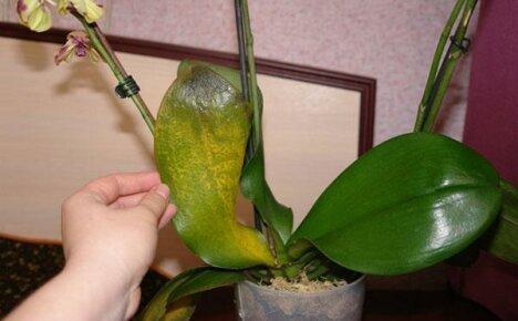 Изучаем болезни орхидей и способы спасения растений