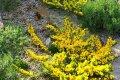 Что нужно знать садоводу о посадке и уходе за ракитником в Подмосковье