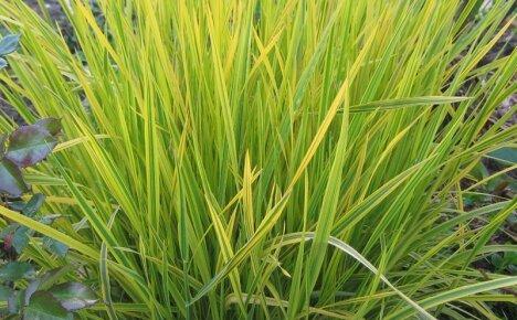 Полезные свойства травы осоки в фитотерапии и косметологии