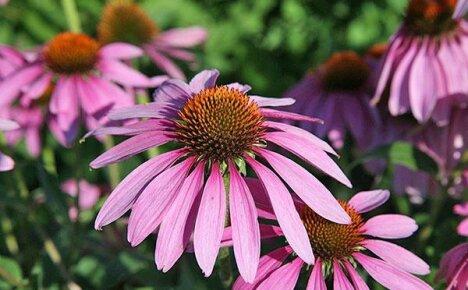 Открываем для себя лечебные свойства эхинацеи — изысканного садового цветка