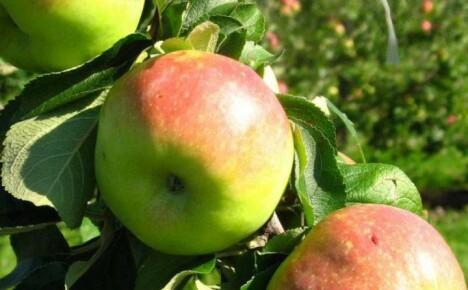 Кисло-сладкие плоды яблони сорта Богатырь достойны вашего внимания