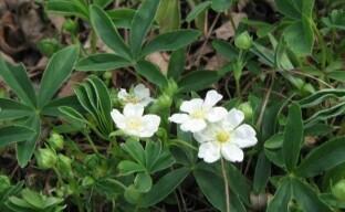 Лапчатка белая – лечебная трава для красоты сада и вашего здоровья